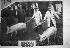 Farmer Harry Daybell driving his prize pigs.
