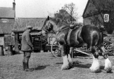 A heavy horse in farmyard