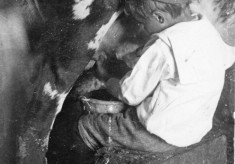 Young George Marsh milking a cow