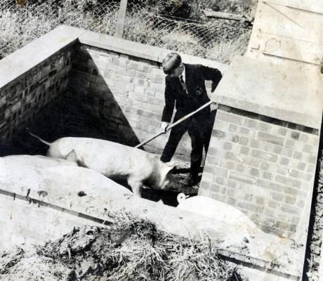 Pig breeding at Bottesford Secondary School