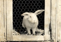 Rabbit breeding at Bottesford Secondary School