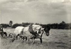 Albert Calcraft Mowing hay in the 1930s