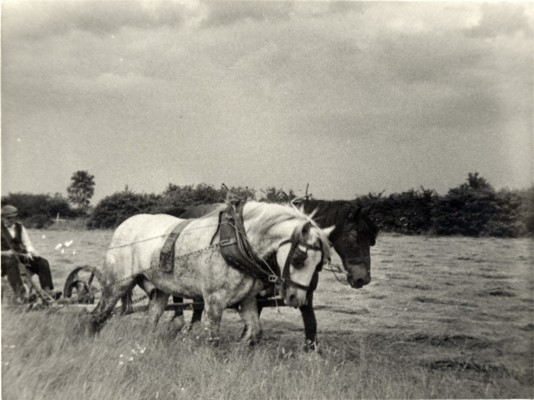Albert Calcraft Mowing hay in the 1930s