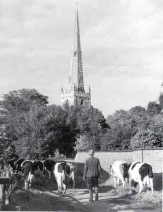 Len Palmer with Fresian herd, 1950s
