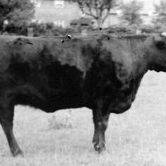 Mr William Parnham's prize bull