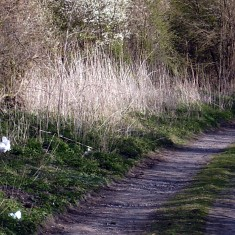 In early April only the Blackthorn and a few stray daffodils are in bloom along the track.