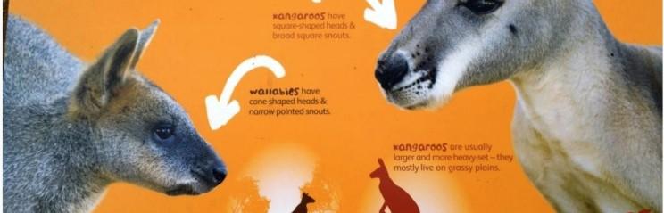 Wallaby v Kangaroo head shape
