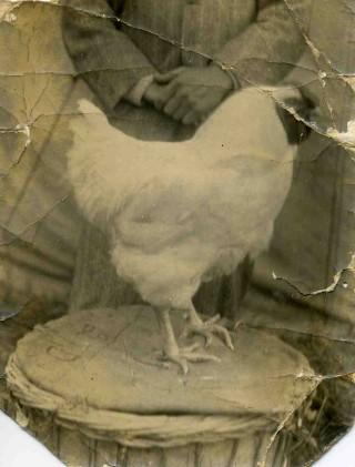 Mr Harry Bateson's Prize winning Wyandotte Chicken