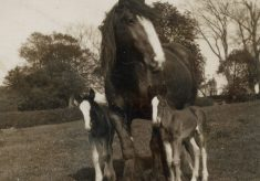 Queenie with twin foals, at Plungar